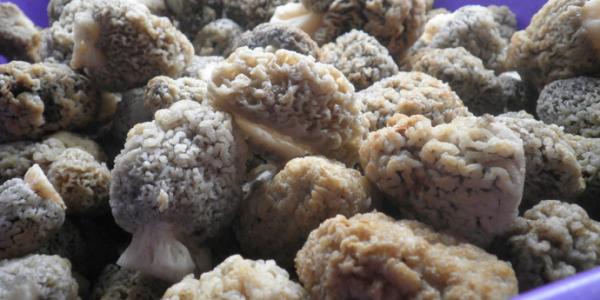 Промытые от песка грибы сморчки